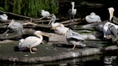 pack : Big pack of pelicans on an island against green leaves Stock Footage
