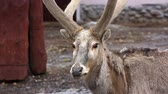 оленьи рога : Davids deer in the openair cage of a zoo close up