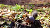 nibbling : Red squirrel nibbling nuts found on stump in fall forest