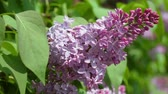 syringa : Close up view of purple lilac shrub in summer day