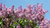 syringa : Violet lilac blossoming in spring garden under blue sky Stock Footage