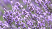 lavender flowers on the field swaying in the wind