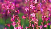 flora : Silene armeria flowers are swayed in the wind