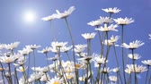 Field camomiles against the blue sky and the sun Stock Footage