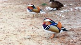 Small, smart, mandarin duck (lat. Aix galericulata) runs on the ground