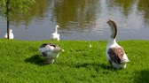 Geese stand on the green grass near the pond