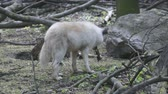 White polar wolf eats fish in its natural habitat Stock Footage