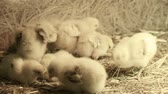 Little yellow chickens in straw Stock Footage