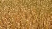 agronomists : Grain cobs flexing in the wind in the fields and waving movements of the camera. Stock Footage