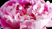 timelapse of peony flowering  Stock Footage