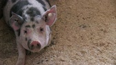 snout : Pigs on livestock farm. Pig farming