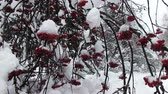 wood : snowy bunches of red rowan