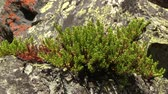 dwarf : Plant of black crowberry (Empetrum nigrum) growing on the stones