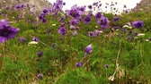 hiking trail : Blue aquilegia flowers swaying in the wind on the back of high rocky mountains Stock Footage