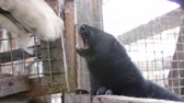 zenci amerikalı : Fur farm. Black aggression mink attacks the mans hand. Stok Video
