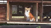 prisão : Fur farm. Red fox in a cage looking outside.