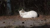 лиса : Domesticated fox. Young white fox sleeping outdoor.