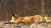 лиса : Domesticated fox. Young red fox sleeping outdoor. Closeup video Стоковые видеозаписи