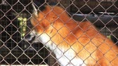 лиса : Fur farm. Red fox in a cage looking outside.