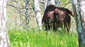 búfalo : Wild european bison in the forest