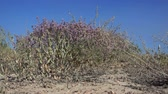 eroze : Landscape in the steppes of Kazakhstan. Saxaul tree flowering