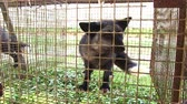 лиса : Fur farm. Black fox in a cage looking outside. Стоковые видеозаписи