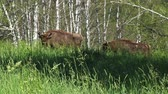 búfalo : Two wild european bisons in the forest