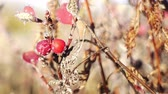 травяной : Morning frost melts on rosehip berries in the sun