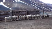 hospodářských zvířat : sheep on farm in mountains, Altai Russia