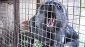 лиса : Fur farm. Black foxes in cages looking outside.