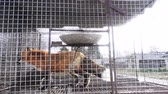 лиса : Fur farm. Red foxes in cages looking outside. Стоковые видеозаписи