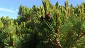cedro : Branches of Siberian Pine (local named Cedar)  with green needles and ripe cones