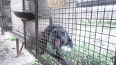vadállat : Fur farm. Black foxes in cages looking outside.