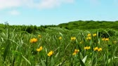 florescence : Spring green meadow with orange flowers Globeflowers (Trollius asiaticus) Stock Footage