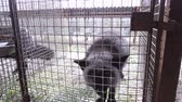 cativo : An animal fur farm, a frightened aggressive fox in a cage.