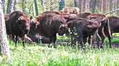 bivaly : Wild european bison in the forest