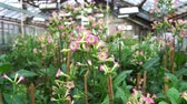 researcher : genetic experiment - growing experimental plant in the greenhouse