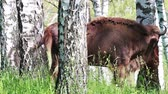 wyoming : Wild european bison in the forest