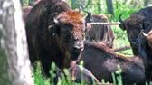 vadállat : Wild european bison in the forest