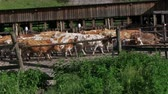 Milk farm. The cow rests before milking. Close-up, flies fly around the cows muzzle Stock Footage