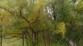 Autumn tree in the park. Drone takes off along the branches of willow with yellow leaves Stock Footage