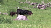 calves are grazing on a green meadow