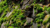 Green grass and yellow dandelion flowers on a rocky cliff on the shore of the Pacific Ocean. Island Simushir, Kuril Islands. Stock Footage