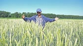 tüske : NOVOSIBIRSK, RUSSIA – JUNE 30, 2017: Breeder (agronomist) is on a wheat field touching of unripe green wheat ears.