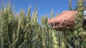olgunlaşmamış : Man hand touching of unripe green wheat ears in large wheat field.