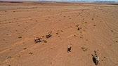 esparso : Group of camels being herded over sand desert in the Mongolia. Aerial footage. UHD