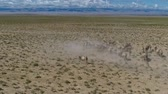 mongolia : Group of camels being herded over sand desert in the Mongolia. Aerial footage. UHD