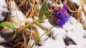 Early spring in the forest, the flower of the lungwort on the snow background
