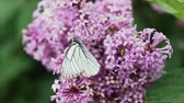 borboletas : Aporia crataegi, Black Veined White butterfly in wild. White butterflies on lilac flower Stock Footage