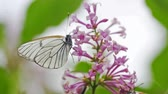 borboletas : Aporia crataegi, Black Veined White butterfly in wild. White butterflies on lilac flower.